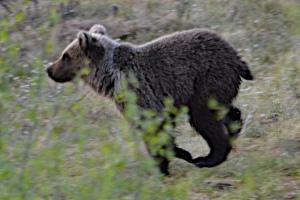 Bear cub running