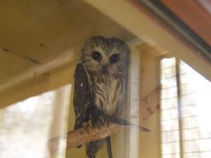 Owl at Big Bear Alpine Zoo