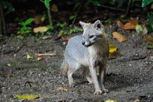 Grey Fox image